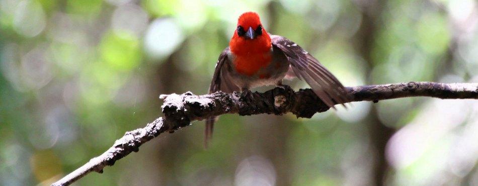 Le Cardinal Foudria rubra – île aux Aigrettes, réserve naturelle de l'île Maurice