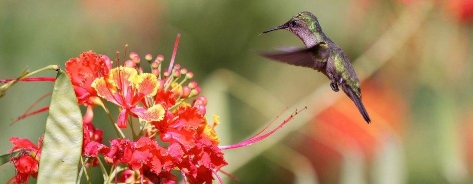 Colibri butinant les fleurs de Flamboyant