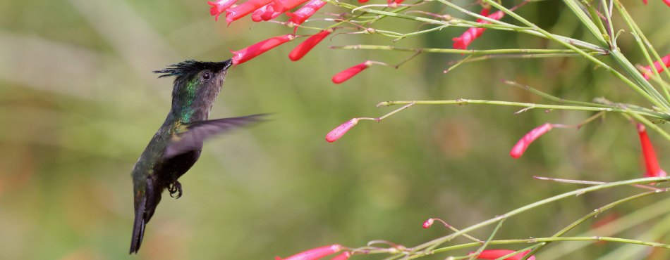 Vol d'un colibri huppé - Martinique
