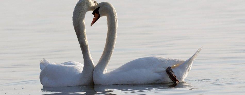 Un couple de cygnes à l'étang de Berre