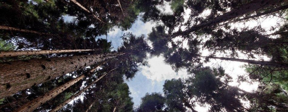 Forêt de Cryptoméria à La Réunion – UGA Sigma 8-16mm