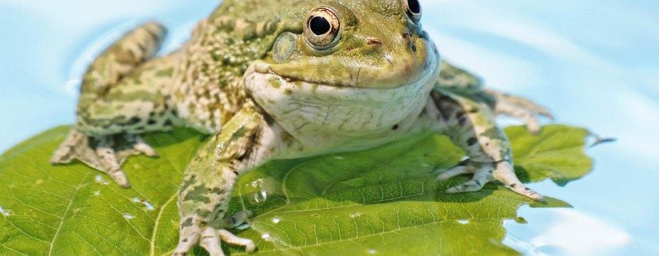 Le sourire d'une grenouille verte d'Europe !