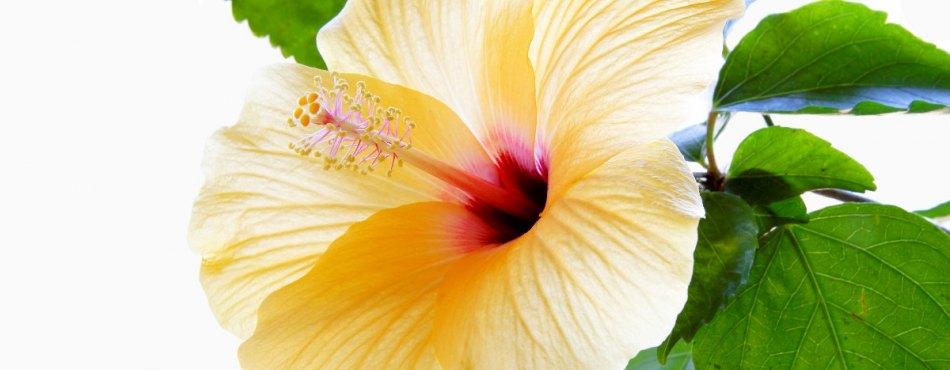 Hibiscus jaune - Canon 17-55 mm