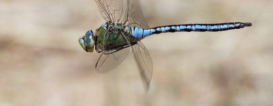 Photos de la libellule Anax empereur en plein vol