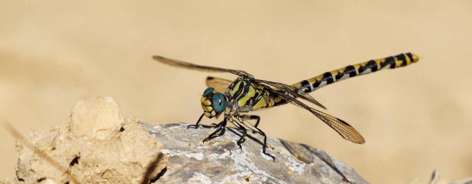 Photo macro d'une libellule jaune et noire