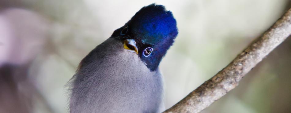 L'oiseau la Vierge - Réunion