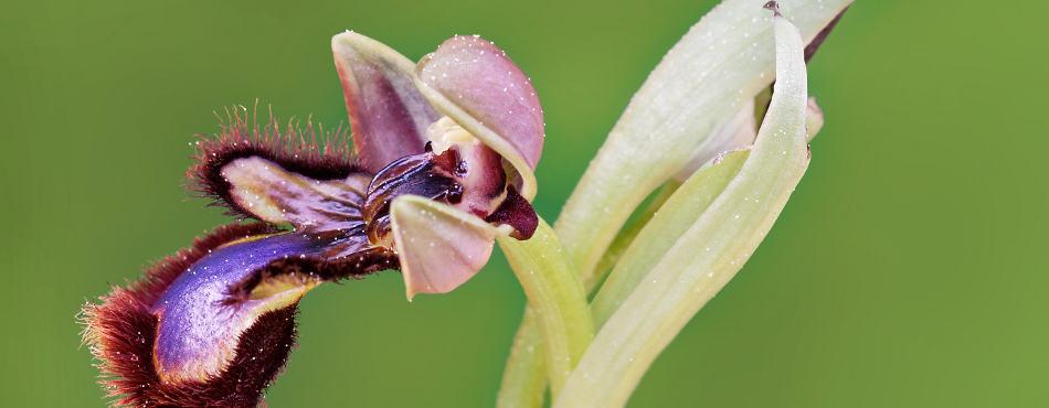 Ophrys miroir – Sigma 150mm f/2.8 Macro