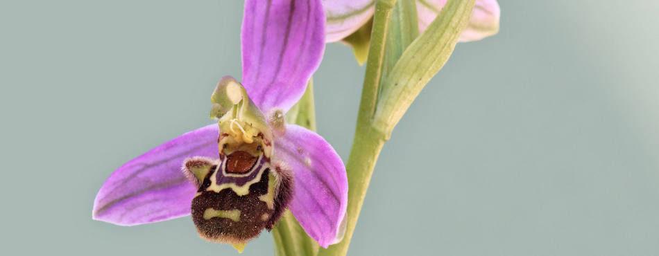 Orchidée Ophrys apifera – France Sud Est