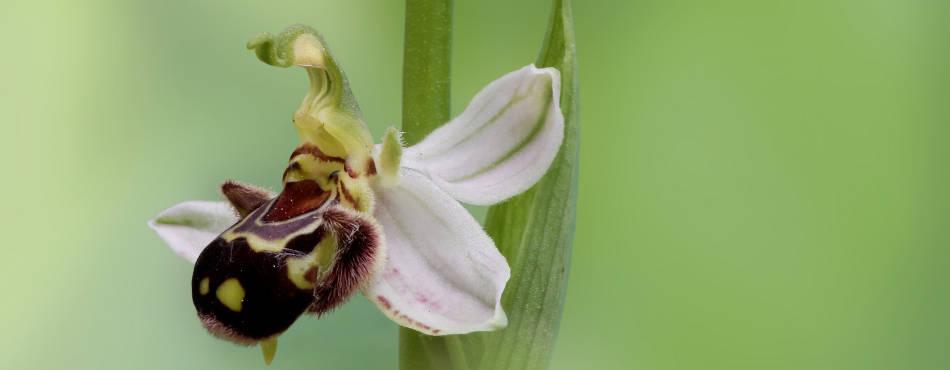 Orchidée Ophrys apifera (hypochrome)