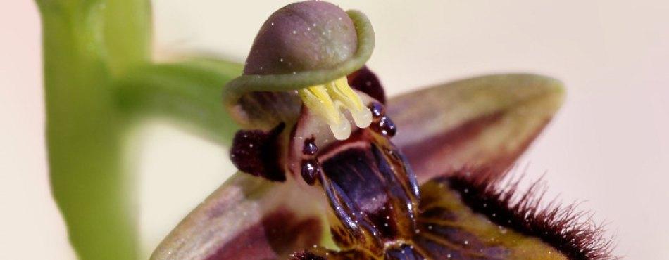 Orchidée Ophrys miroir - FRANCE