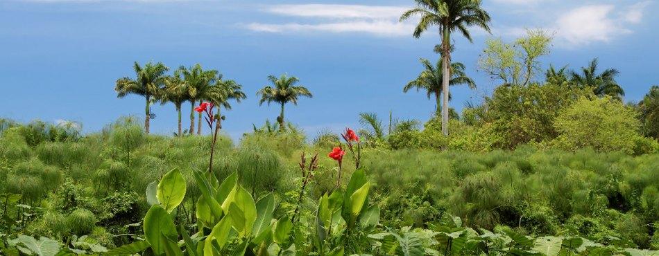 Palmier, Papyrus et Canna à Saint Paul - Réunion