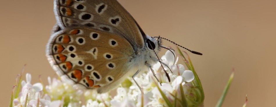 Photo d'un papillon Azuré sur une ombelle blanche