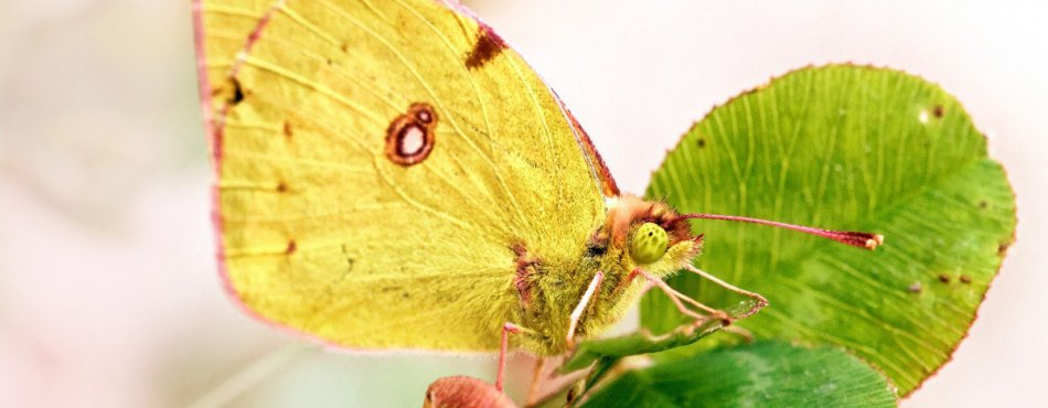 Papillon jaune sur un Trèfle