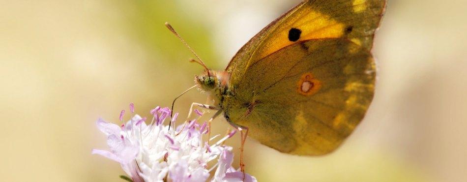 Photo d'un papillon Soufré