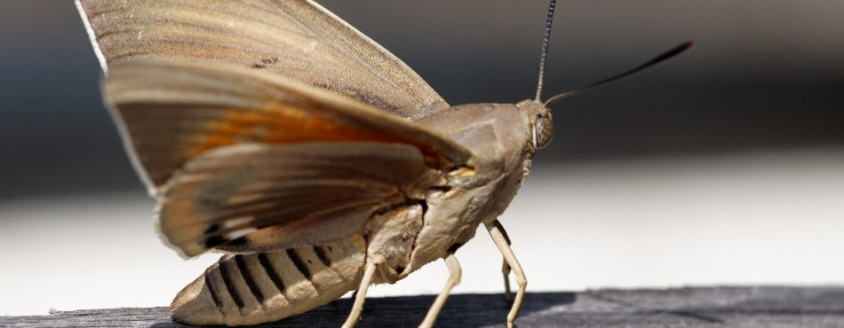 Papillon Paysandisia archon : le ravageur du Palmiers