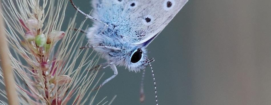Petit papillon Azuré