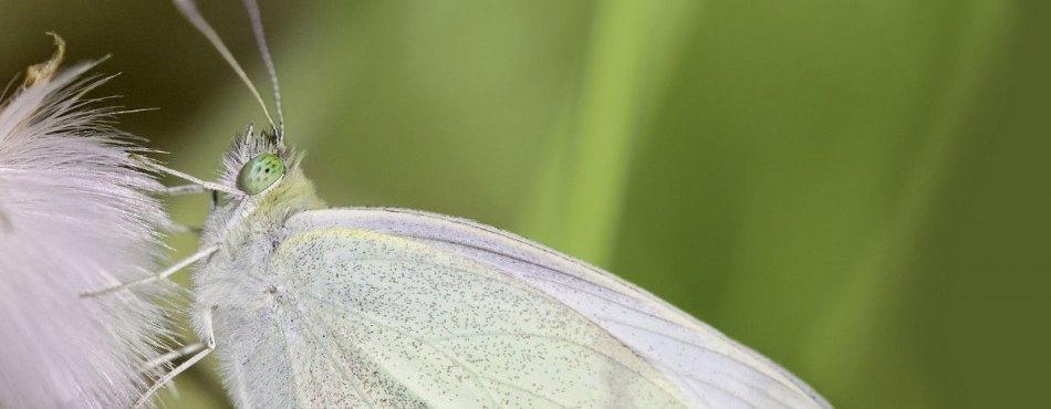 Papillon blanc aux yeux verts !