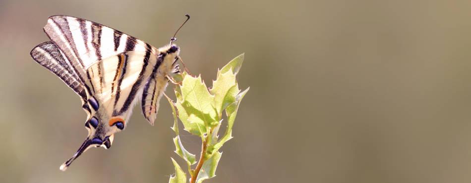 Papillon Flambé - Iphiclides podalirius