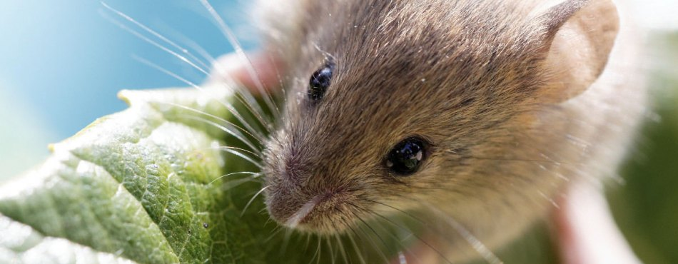 Une souris bien curieuse