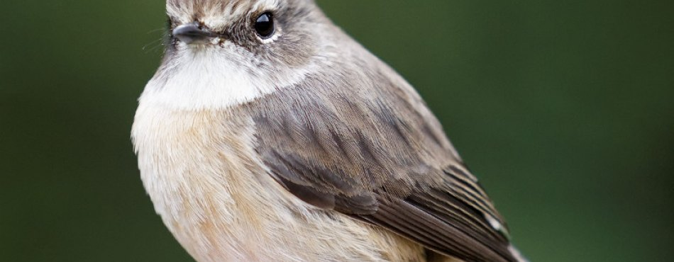 Un oiseau endémique de la Réunion, le  Tec-Tec